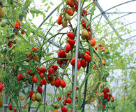 Red and green tomatoes ripening on the bush in a greenhouse Royalty Free Stock Photography