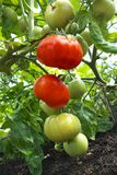 Red and green tomatoes. Ripening red and green tomatoes in greenhouse Royalty Free Stock Photos