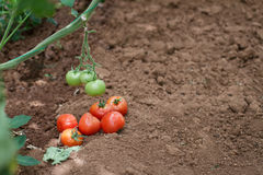 Red and Green Tomatoes. In a Vegetable Garden Royalty Free Stock Photo