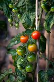 Red and green tomatoes on vine. A cluster of red and green tomatoes ripening on the vine with smaller green tomatoes in background Royalty Free Stock Photo