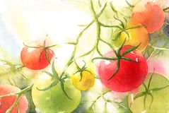Red and Green Tomatoes On The Vine Watercolor Vegetable Background Illustration Hand Painted Stock Illustration