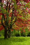 Red and green tree. Two trees, red and green, on a sunny day in the park Stock Photo