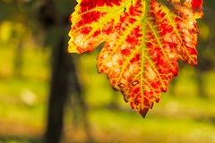 Red and green vine leaf in autumn coloring Royalty Free Stock Photo