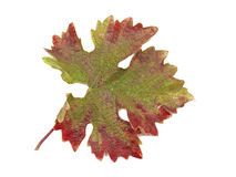 Red and green vine leaf on white Royalty Free Stock Images