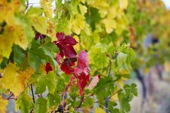 Red and green vine leafs on a fall day Stock Photography