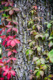 Red & Green Vines Climbing Tree Trunk Royalty Free Stock Photos