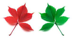 Red and green virginia creeper leaves. Isolated on white background Royalty Free Stock Image