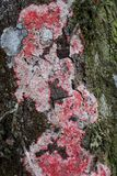 Red, green and white lichen and moss on tree bark. Texture or background stock photography