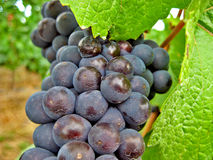 Red and Green Wine Grapes. Plump red, green and white wine grapes hanging on the vine in Oregon wine Country Royalty Free Stock Photo