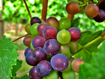 Red and Green Wine Grapes. Plump red, green and white wine grapes hanging on the vine in Oregon wine Country Royalty Free Stock Photos