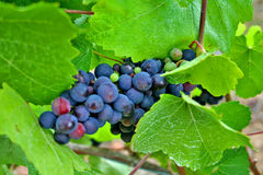 Red and Green Wine Grapes. Plump red, green and white wine grapes hanging on the vine in Oregon wine Country Royalty Free Stock Photography