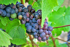 Red and Green Wine Grapes. Plump red, green and white wine grapes hanging on the vine in Oregon wine Country Stock Photos