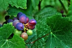 Red and Green Wine Grapes Stock Photography