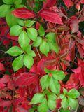 Red and green woodbine Royalty Free Stock Photo