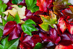 Red, green and yellow autumn leaves Royalty Free Stock Image