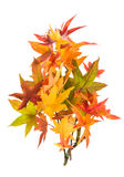 Red green yellow autumn maple leaves isolated on white Stock Photo