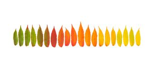 Red green yellow autumn tree leaves Autumn fall Minimal concept. Red green yellow autumn tree leaves isolated on white background. Autumn fall. Minimal concept Stock Images