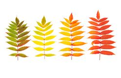 Red green yellow autumn tree leaves isolated white background. Red green yellow autumn tree leaves isolated on white background. Autumn fall Stock Images