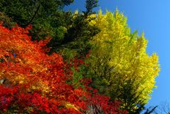 Red green yellow foliage Stock Images