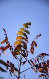 RED GREEN AND YELLOW LEAVES AGAINST BLUE SKY. A small tree with thin branches has beautiful multicolored leaves against a blue sky in the background stock photos