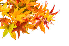 Red green yellow maple leaves. Autumn Royalty Free Stock Photos