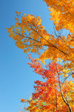 Red, green and yellow maple leaves and clear blue sky on the background Stock Photos