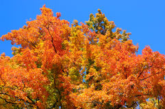 Red, green and yellow maple leaves and clear blue sky on the background Royalty Free Stock Photo