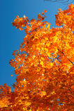 Red, green and yellow maple leaves and clear blue sky on the background Royalty Free Stock Photos
