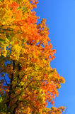 Red, green and yellow maple leaves and clear blue sky on the background Royalty Free Stock Images