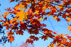 Red, green and yellow maple leaves and clear blue sky on the background Stock Image