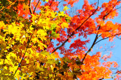 Red, green and yellow maple leaves in fall Royalty Free Stock Image