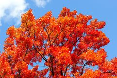Red, green and yellow maple leaves in fall Stock Images