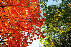 Red, green and yellow maple leaves in fall Stock Photography