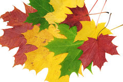 Red, green and yellow maple leaves. On white background Stock Photo