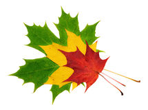Red, green and yellow maple leaves. On white background Royalty Free Stock Photography