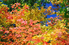 Red, green and yellow maple trees in fall Stock Images