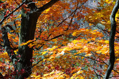 Red, green and yellow maple trees in fall Stock Image