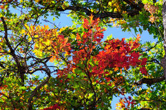 Red, green and yellow oak leaves and clear blue sky on the background Stock Photos