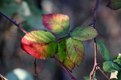 Red, green and yelow blackberry leafs in afternoon sun royalty free stock photo