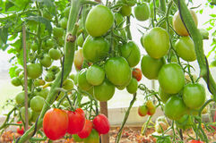 Red and greenorganic tomato plant and fruit. Royalty Free Stock Photo