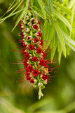 Red Grevillea. Stunning spiked Red Grevillea Australian flora Stock Images