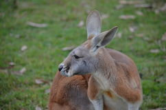 Red and Grey Australian Kangaroo Stock Photos