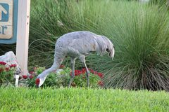 Red and grey bird pecking the grass and ground. A red and grey bird pecking the green grass for treats stock photos
