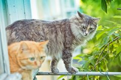 Red and grey cat sitting on the window sill Stock Images