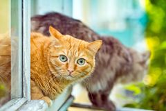 Red and grey cat sitting on the window sill Royalty Free Stock Photo