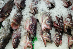 Red and Grey Fish on Ice Stock Images