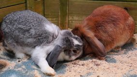 Red and grey rabbits stock footage