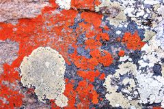 Red and grey sea moss background. A close-up of red and grey sea moss growing on a granite rock background stock photos