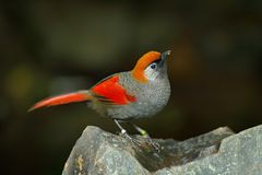 Red and grey songbird Red-tailed Laughingthrush, Garrulax milnei, sitting on the rock with dark background, China. Red and grey songbird Red-tailed Royalty Free Stock Image