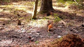 Red and grey squirrels stock footage